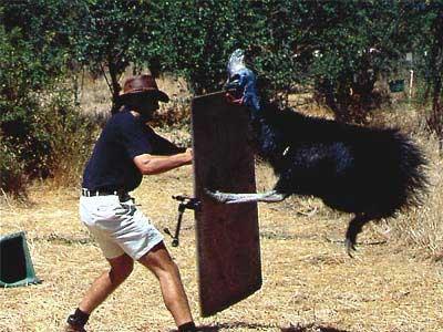 cassowary-attack-2.jpg