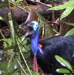 cassowary at Rainforest Hideaway B&B accommodation in Cape Tribulation , Daintree, North Queensland