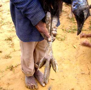 Cassowary bird foot - photo#28