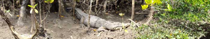 saltwater crocodile spotted on the bank of cooper creek