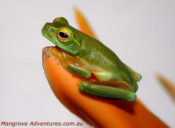 photo of a Dainty Treefrog