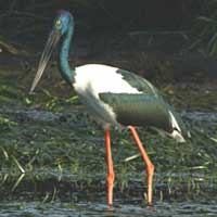 Birdwatching in Australia; black necked stork