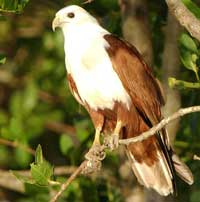 Birdwatching in Australia; brahminy kite