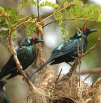 Birdwatching in Australia;  metallic starlings