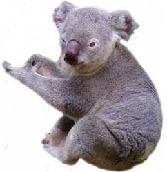 the koala lives in south australia, victoria, new  south wales,  tasmania and queensland