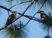 Birdwatching in Australia; kookaburra