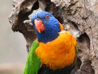 Birdwatching in Australia; rainbow lorikeet