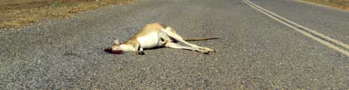 dead kangaroo on the highway