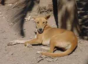 the dingo lives in the outback of mainly queensland, northern territory and west australia