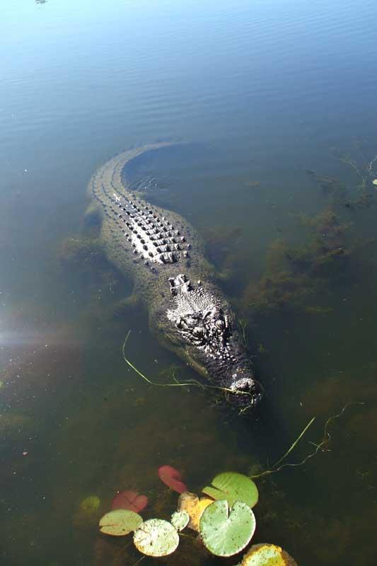 Crocodile attacks in Australia - crocodile attacks from Cairns to